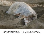 Turtles Nesting During Sunrise...