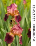 Iris Flowers In The Spring Tim...