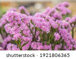 Pink Limonium And Green...