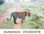 A Female Sub Adult Tigress...