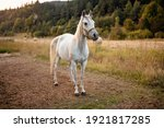 white arabian horse standing on ... | Shutterstock . vector #1921817285
