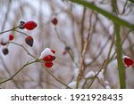 Rose Hips On Bare Winter...
