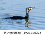Cormorant Hunting For Fish...