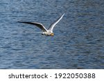 The European Herring Gull ...