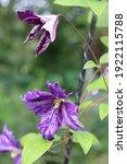 Purple Color With Pale Lavender ...
