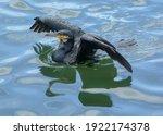 Cormorant Drying His Wings In...