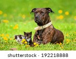 Stock photo american staffordshire terrier with little kittens lying on the field with dandelions 192218888
