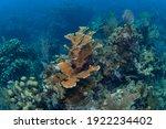 Elkhorn Coral  Acropora Palmata ...