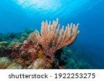 Gorgonian Sea Rod Coral ...