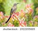 Cape Sugar Bird With Long Tail...