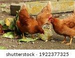 Brown Hens Pecking A Fresh...
