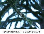 branch of araucaria araucana ...   Shutterstock . vector #1922419175