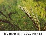 Close Up Of Palm Tree Leaf...