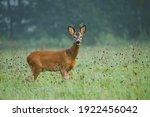 Deer In Foggy Morning. European ...