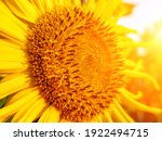 Sunflower Blooming. Close Up Of ...