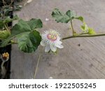 White Passion Flower Blooming...