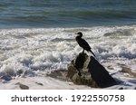 Cormorant Bird Sits On A Stone...