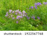 Flowering Bushes Of Meadow...