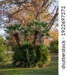 Beautiful Multi Stemmed Palm...