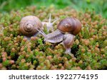 Snails In Nature  Family Of...