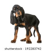 Stock photo cute puppy black and tan coonhound standing looking at viewer 192283742