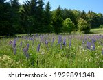 A Green  Meadow Full Of Lupine...