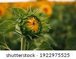 Summer Sunflower Field Macro...