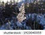 One Backlit Fluffy Reed Flower...