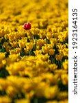 Tulip Plantation In Netherlands ...