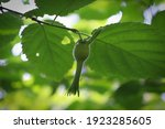 Wild Beaked Hazelnut Involucre...