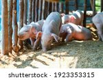 Cute Pink Piglet Is Waiting To...