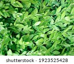 Green Leaves Boxwood With Rain...