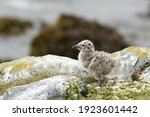 Seagull Chick Standing On The...
