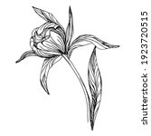 peony flower. floral botanical...   Shutterstock .eps vector #1923720515