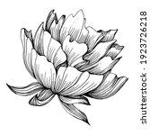 peony flower. floral botanical...   Shutterstock .eps vector #1923726218
