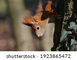 Red Squirrel Climbing An Old...