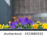 Purple And Yellow Pansies In A...