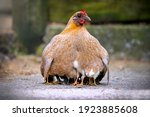 Mother hen chicken with cute...