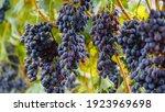 Ripe Black Grape Fruit Harvest...