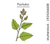 pua kukui white blossom of the...   Shutterstock .eps vector #1924266608