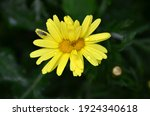 Insect On Yellow Daisy. Yellow...