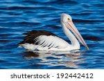 Australian Pelican  Pelecanus...