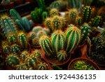Close Up Of A Variety Of Cacti...