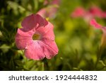 Petunia Flower  With Morning...