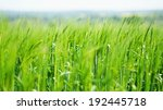 Tall Green Grass In English...