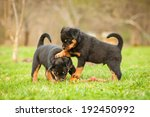 Stock photo rottweiler puppies playing 192450992