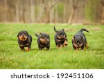 Stock photo four rottweiler puppies running 192451106