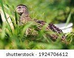 Coturnix quail in the grass...