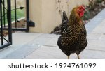 Golden Laced Wyandotte With...