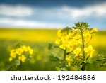 Close Up Of A Rapeseed   A...
